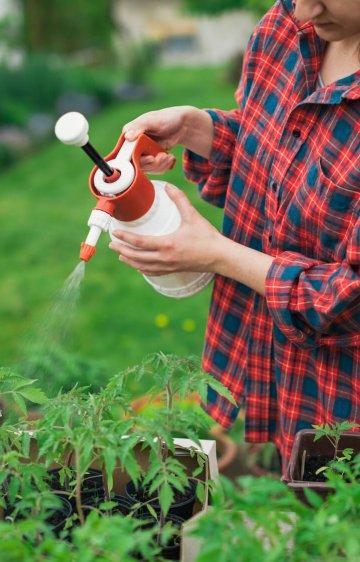 Gardener spraying tomato seedlings with water